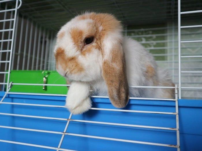 Rabbits – Health & Grooming