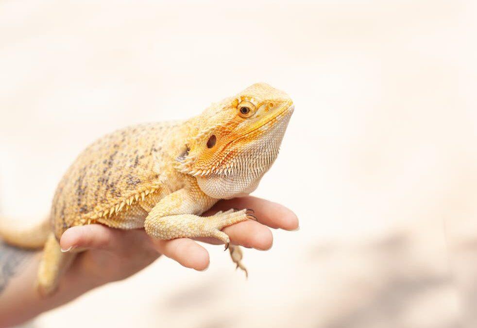 Bearded Dragons – The Basics