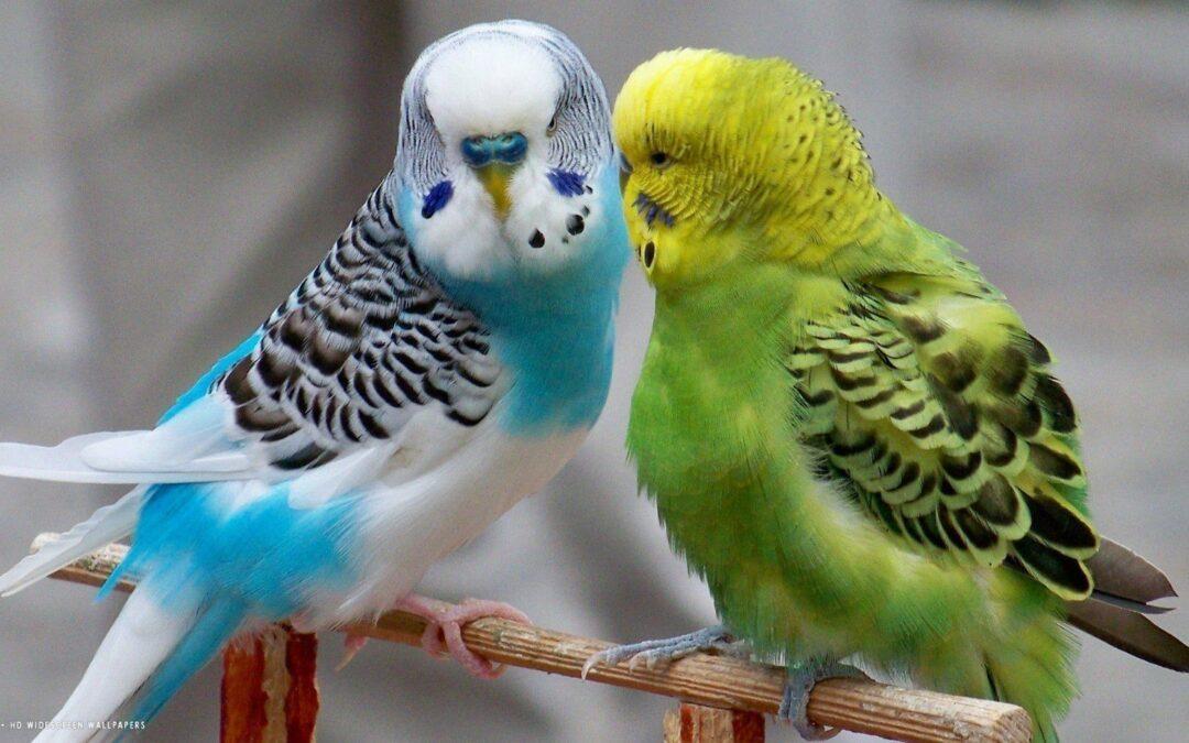 Parakeets – The Basics